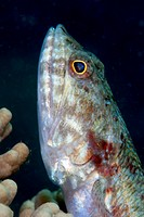 Lizardfish Synodus sp., Sulawesi, Indonesia, Southeast Asia, Asia