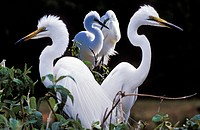 Couples of great egrets in nuptial plumage