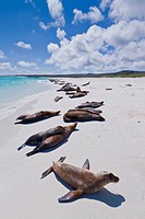 Galapagos sea lions Zalophus wollebaeki, Gardner beach, Santiago Island, Galapagos Islands, UNESCO World Heritage Site, Ecuador, South America
