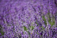 Lavender field, Lordington Lavender Farm, Lordington, West Sussex, England, United Kingdom, Europe