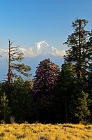 Rhododendron and Dhaulagiri Himal seen from Poon Hill, Annapurna Conservation Area, Dhawalagiri Dhaulagiri, Western Region Pashchimanchal, Nepal, Hima...