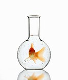 Goldfish in laboratory bottle.