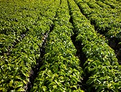 Rows of Young Coffee Trees