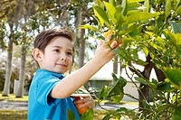 Boy picking oranges from a tree