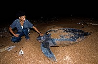 Turtle warden with nesting Leatherback turtle Dermochelys coriacea, Shell Beach, Guyana, South America