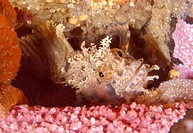 Japanese warbonnet or Fringed blenny (Chirolophis japonicus), Japan Sea, Primorsky Krai, Russian Federation, Far East