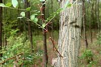 Leaves, thorns and trunk of an Acacia (Acacia), Hungary, Europe