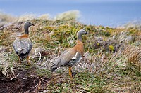 Ashy-headed Goose (Chloephaga poliocephala), Cape Horn National Park, Chile, South America