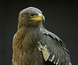 Tawny Eagle (Aquila rapax), native to Africa and South Asia, game reserve, Bavaria, Germany, Europe