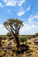 Quiver Tree or Kokerboom (Aloe dichotoma), Quiver Tree Forest, Keetmanshoop, Namibia, Africa