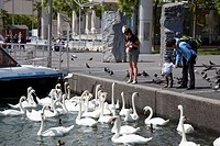 swans, lake, lausanne, switzerland