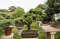 A bonsai tree in the Humble Administrator´s garden in Suzhou, China