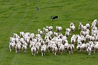 Header dogs gather Romney sheep into flock and drive them home  Masterton, Wairarapa region, north island, New Zealand