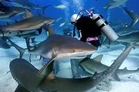 Sharkfeeeder with Caribbean Reefsharks, Bahamas / Carcharinus perezi