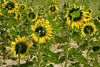 Sunflower plantation vibrant yellow flowers