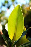 mangrove leaf plant tree detail macro