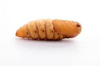chrysalis silkworm on white background