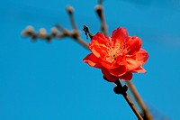 Cherry blossom in blue sky