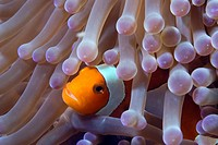 False clown anenomefish - Amphiprion ocellaris in the tentacles of its host anenome
