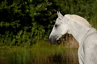Hanoverian horse in a lake, portrait