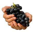 Close_up of hands holding a bunch of grapes
