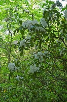 Mountain Laurel, Great Smoky Mtns Nat. Park, TN