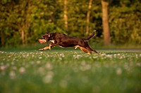 Mixed-breed dog running across a meadow