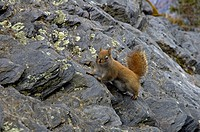 Squirrel at The Chimneys, Great Smoky Mtns Nat. Park, TN