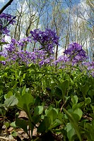 Spring Wildflowers, Great Smoky Mountains National Park, TN