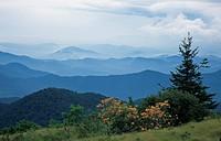 Flame Azalea, Appalachian Trail near Roan Mtn