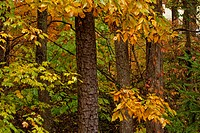 Autumn Leaves, Trees, East Tennessee