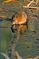 A muskrat sitting on a summerged log