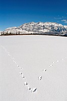 Fox tracks in the snow on Talbot lake in Jasper National Park Alberta,Canada