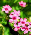 A close up shot of the pink flowers of Wood Sorrel Oxalis corymbosa