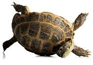 Tortoise falling over