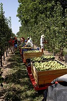 Collecting pears conference from trees  LLeida  Spain
