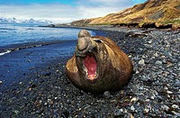 Southern Elephant Seal, mirounga leonina, Male laying on Beach in Defensive Posture, Antarctica