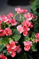 Elatior begonia Begonia x hiemalis is a hybrid begonia with an upright growth habit and big single bloom or double blooms  Elatior begonia is availabl...