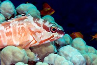 Blacktip grouper epinephelus fasciatus in de Red Sea.
