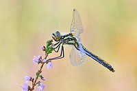Black Darter (Sympetrum danae) dragonfly, Lower Lusatian Heath Nature Park, Brandenburg, Germany, Europe