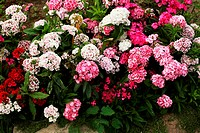 carnations, a lot of beautiful blooming flowers