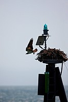 Osprey Launches From a Nest Built Atop a Navigation Light