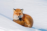 A red fox Vulpes vulpes adult rests on a snowbank in wintertime along the Arctic coast of Alaska.