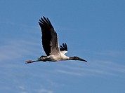 Woodstork in Flight, mycteria americana, Florida
