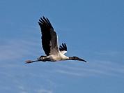 Woodstork in Flight, mycteria americana, Florida