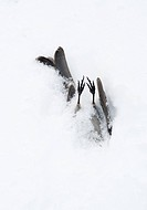 winter death, cold casualty, dead bird female pine grosbeak Pinicola enucleator in snow, coniferous forest, 150 Mile House, Cariboo, British Columbia