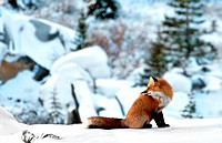 Red fox, Vulpes vulpes, Churchill, Manitoba, Canada