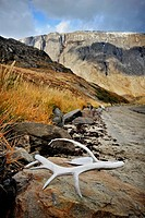 Caribou antler on beach, Torngat Mountains, Torngat National Park, Nunatsiavut, Newfoundland and Labrador, Canada