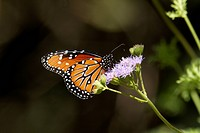 Monarch, Danaus plexippus, Arizona, USA
