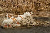 American White Pelican, Pelecanus erythrorhynchos, Washington, USA